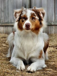 Atreyu, Ronans Red Merle Australian Shepherd - My Doggy Is Delightful Red Merle Australian Shepherd, Aussie Shepherd, Australian Shepherd Puppies, Aussie Dogs, Mini Australian Shepherds, Cute Puppies, Cute Dogs, Dogs And Puppies, Doggies