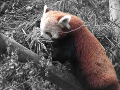 Red Panda, Dublin Zoo. :) :)