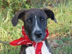 Ringo - URGENT is an adoptable Boxer Dog in Princeton, KY. Ringo is a six month old male Boxer mix who is sweet and playful and who just wants to have some fun. We can just see him tagging along after...