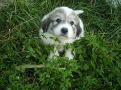 Pyrenees puppy - Look at those eyes