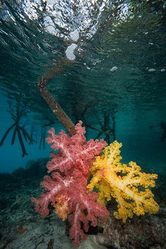 Mangrove roots with soft corals (Raja Ampat, Indonesia) - David Hall Join with us at International Research Community and Travel Guides = https://www.facebook.com/groups/1547062925573513/