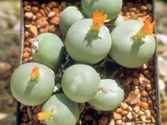 Conophytum calculus 20 seeds Rare Cactus Living Stones Succulent Plant by… Weird Plants, Unusual Plants, Rare Plants, Exotic Plants, Cool Plants, Exotic Flowers, Succulent Seeds, Succulent Gardening, Cacti And Succulents