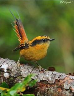 "Thorn-tailed Rayadito (only 5.5"" long) is a very common bird in the temperate forests of Chile"