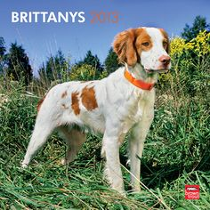 Brittanys Wall Calendar: This handsome dog was named after a province in northwestern France. Alert and even-tempered, Brittanys make excellent hunting companions. With their cheerful and very friendly personalities, they also make delightful household pets.  $14.99  http://calendars.com/Brittanys/Brittanys-2013-Wall-Calendar/prod201300004939/?categoryId=cat10070=cat10070#