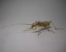 Japanese ground beetle:Carabus (Damaster) blaptoides