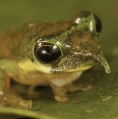 """Pinocchio Frog"" Scientists in Indonesia accidentally found rare species of long-nosed frog"