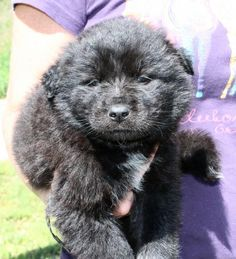 Tuddles 24135 is an adoptable Chow Chow searching for a forever family near Prattville, AL. Use Petfinder to find adoptable pets in your area.