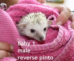 Baby Hedgehogs for Sale | BABY AFRICAN PYGMY HEDGEHOGS FOR SALE | Poole, Dorset | Pets4Homes