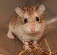 Hamster Baby