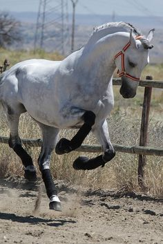 Terrific shot! ~Source: javidelucar........The jumping is also natural. They do jump.           the gate is a high stepping strut. That too is natural. The trainers perfect them for show.