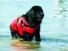 Rescue Dogs Jump From Helicopter - Newfoundlands (Newfies) are so awesome...they're direct ancestors of Labs :)