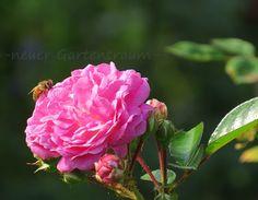 -neuer Gartentraum-:Rosen