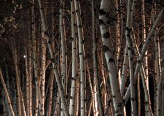 Night lights and birch trees