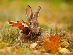 fall hare ~ A mouthful of autumn :-) Beautiful Creatures, Animals Beautiful, Cute Animals, Barnyard Animals, Beautiful Images, Baby Animals, Funny Animals, Autumn Rain, Autumn Leaves