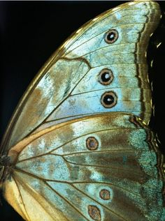 Teal blue butterfly wings detail photography