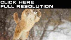 Big cats Pumas Leaping Cougar Animals