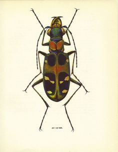 Beetle Print Vladimir Bohac Insect Art by TheWholeBook on Etsy, $12.00