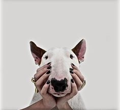 Meet Jimmy the Bull Terrier by Rafael Mantesso Chien Bull Terrier, Mini Bull Terriers, English Bull Terriers, Pitbull Terrier, I Love Dogs, Cute Dogs, Animals And Pets, Cute Animals, Frederique