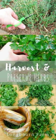 Herbal Gardening Ideas - Learn how to harvest herbs and how to preserves them! A step-by-step tutorial on how to cut each herb so it will continue to grow and produce, along with a step-by-step guide to preserving your abundance of herbs. Organic Gardening, Gardening Tips, Container Gardening, Hydroponic Gardening, Flower Gardening, Culture D'herbes, Types Of Herbs, Herbs Indoors, Growing Herbs
