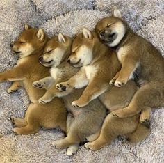 We are really small, we are tired and we are sleepy. 🐶🐕☺️☺️🤗🤗Let us sleep!🙏😴😴 Goodnight to all and a good weekend! Akita Puppies, Shiba Puppy, Cute Dogs And Puppies, I Love Dogs, Doggies, Chien Shiba Inu, Japanese Dogs, Cute Little Animals, Mundo Animal