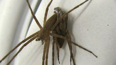 """Kinky Spiders: Males Tie Up Partners During Sex. """"Fifty Shades of Grey,"""" spider-style. A male Nursery-web Spider restrains a female during sex by wrapping silk around her legs. Tying up your lover is one way to introduce a little excitement to the bedroom. But for male nursery-web spiders, bondage during mating can be a matter of life and death. By restraining their partners, male spiders reduce their chances of falling victim to sexual cannibalism, a new study finds."""
