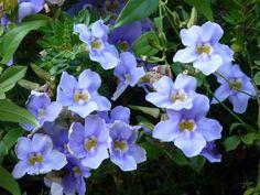 La tumbergia azul, Thunbergia grandiflora, destaca sobre todo por sus vistosas flores azules. Es una enredadera que pertenece a la familia de las Acantáceas y es originaria de la India. Es una plan…