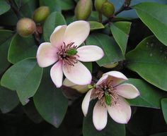 Port wine magnolia Plant Care & Growing Information Magnolia Trees, Magnolia Flower, Rock Garden Plants, Lawn And Garden, Trees And Shrubs, Trees To Plant, Moon Garden, Dream Garden, Nature