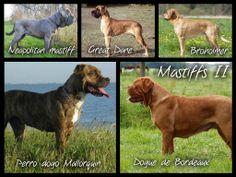 More mastiffs