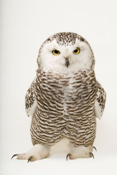 A young female snowy owl photographed by Joel Sartore