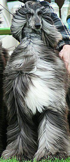 best images, photos and pictures ideas about afghan hound dog - oldest dog breeds I Love Dogs, Cute Dogs, Funny Dogs, Beautiful Dogs, Animals Beautiful, Photo Animaliere, Afghan Hound, Dogs And Puppies, Doggies
