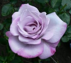 PARADISE: Hybrid Tea. Bred by Weeks - 1978 in the United States. This unique HT is a lovely shade of lavender with petals tipped at their edges with a light red blush. Depending on the amount of sun and the season, the colours and intensity will vary greatly. Not much fragrance.