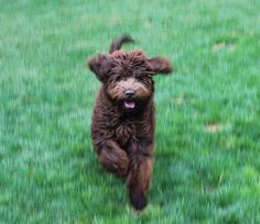 Labradoodle at High Country Labradoodles