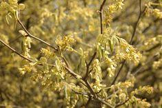 Corylopsis spicata bloem. Heester met gele geurende aarvormige bloemen in mrt-april, kan 1.80-2.0 m hoog worden. Heeft mooie herfstkleur. Zon en halfschaduw, alle gronden.