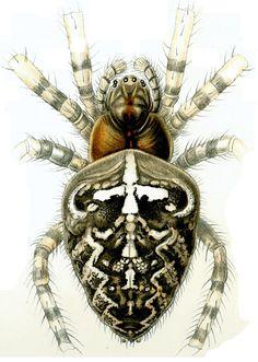 Haeckel: Arachnida Araneus diadematus