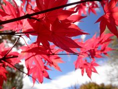 Acer palmatum 'Fireglow'FIREGLOW JAPANESE MAPLEdeciduous treesun to part shade20 year size: 10'-12'HUprightFOLIAGE: Fiery red leafFALL COLOR: ScarletWithstands summer sunMoist well drained soil