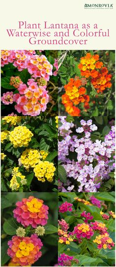 Lantana will give your garden the iron grip it needs when heavy rains hit. If you're in El Niño's path, plant this fast growing beauty now and help avoid soil erosion.