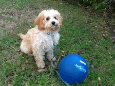 """Cavoodle Fudge Banksia Park Puppy """"Over the moon with our Cavoodle 'Fudge' from Nutmeg's litter in January. So loving and such a wonderful addition to our family. Loves being chased round the garden with his 'stick' & licking our feet on the sofa! Thank you Banksia' 6 months old"""