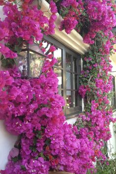 Bougainvillea - this is so beautiful, wished I lived in a more temperate climate for this though :(