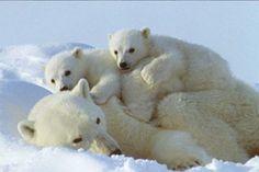 Culture de Confiture: Ours blancs du Canada