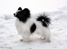 Black and white Papillion. Papillion is the French word for butterfly. The name refers to their butterfly shaped ears. Added by a pinner, a Pap with a black tail! Tiny Puppies, Cute Puppies, Cute Dogs, Beautiful Dogs, Animals Beautiful, Cute Animals, Papillion Puppies, Black And White Dog, Purebred Dogs
