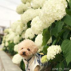 ✧︎*。 #お散歩 #紫陽花 #あじさい #福 #愛犬 #犬 #プードル #トイプードル #タイニープードル #dog #poodle #toypoodle #大切な家族 #最愛の息子 #愛おしい #大好き #幸せ #目に入れても痛くない #ワンコなしでは生きていけません会 #ふわもこ部 #ママミング #適当