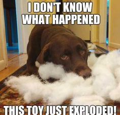 Mind Blowing Facts About Labrador Retrievers And Ideas. Amazing Facts About Labrador Retrievers And Ideas. Chocolate Lab Puppies, Chocolate Labrador Retriever, Golden Retriever, Chocolate Labs, Dog Jokes, Funny Dog Memes, Funny Dogs, Dog Humor, Memes Humor