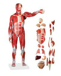 Related image Human Body Muscles, Human Body Anatomy, Arm Muscles, Arm Muscle Anatomy, Skeleton Anatomy, Skeleton Model, Anatomy Models, Muscular System, Skeletal Muscle