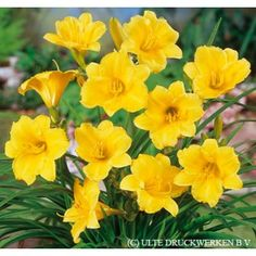 Yellow Daylily: Zone 6, perennial, summer blooms, full or half sun, easy to grow, attracts hummingbirds and butterflies