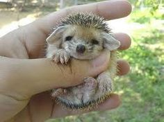 baby porcupine. dunno if id want it as a pet but he sure is cuteeee