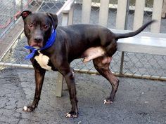 SUPER URGENT 5/6/14  Manhattan Center -P BLACKY. My Animal ID # is A0997379. Male black/white pit mix.  8 YRS old.  OWN SUR  4/21/14 SENIOR ALERT !!!  Gets along w/ kids. Friendly but cautious w/ other animals including dogs. Knows to sit & lie down on command.  Volunteer says: He can walk well, run and climb stairs just the way he is.  GREAT BEHAVIOR EXAM!!! Affectionate. Good on leash. Quite an endearing and friendly guy who would make a solid, loving and faithful companion, given a…