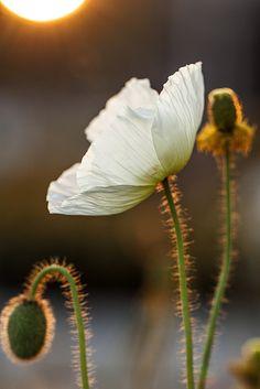 sapphire1707:    Poppy Sunrise by M.Varga on Flickr.