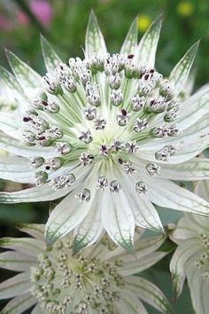 Astrantia major - shade tolerant perennial, white, green tinged flowers throughout summer. Unusual Flowers, Amazing Flowers, White Flowers, Beautiful Flowers, Moon Garden, Dream Garden, Shade Garden, Garden Plants, Astrantia Major