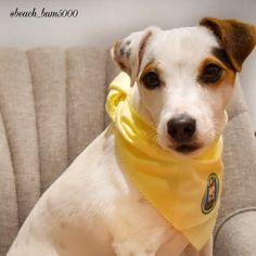 My Dewey #jrt #jackrussell #jackrussellterrier Rat Terriers, Terrier Dogs, Jack Pack, Animal Pictures, Cute Pictures, Jack Russell Dogs, Parson Russell Terrier, Cutest Dog Ever, Animal Species
