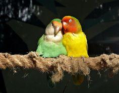 Lovebirds - Cutest Paw